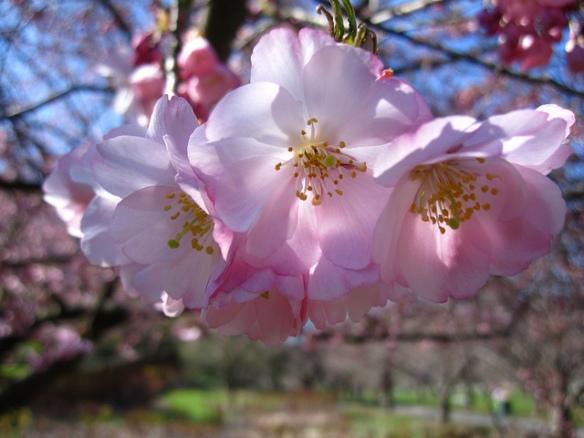 Sakura Matsuri in Brooklyn